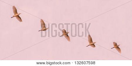 Flock Of Cattle Egrets Flying Across The Sky