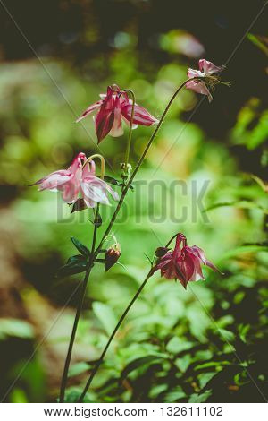 columbine aquilegia flowers in vintage style. Flower