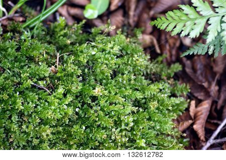 Moss in the forest among dry leaves