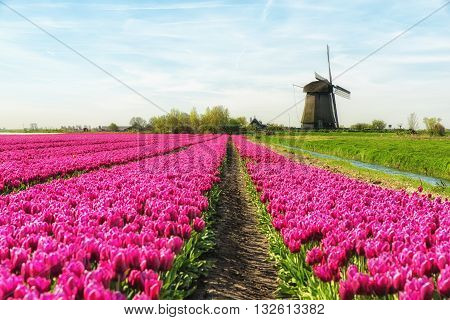 Colorful tulip field in front of a traditional Dutch windmill