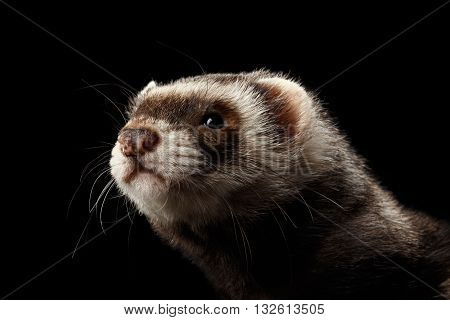 Closeup Portrait of Funny Ferret looking at the camera isolated on Black Background, Front view