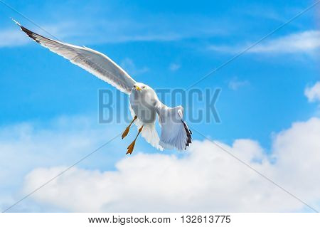 White Fish seagull flying and making turn in blue sky with wings spreaded. Freedom changing direction concept. Place for text