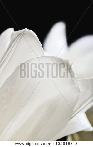 delicate petals of a white tulip on a dark background. vertical format