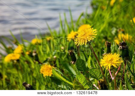 Yellow dandelions on the lake shore. Yellow summer flowers with green grass and white bokeh blure. Yellow dandelion flowers with leaves in green grass.