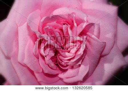 closeup macro of a pink rose head with dew water drops