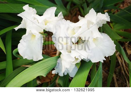 Bearded Pure White Irises Blooming in spring