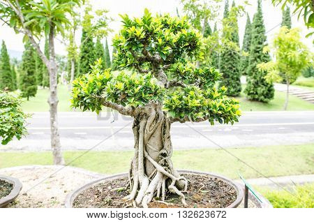 natural green bonsai tree in the garden