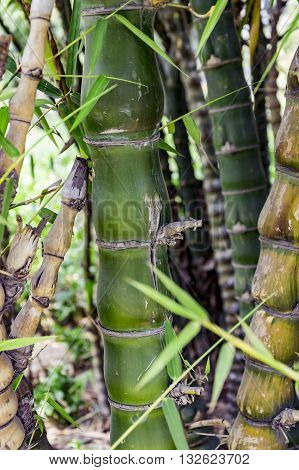 Green bamboo plants in forest and other trees.