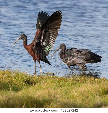 The glossy ibis (Plegadis falcinellus) is a wading bird in the ibis family. It is the most widespread ibis species breeding in Europe Asia Africa Australia and the Atlantic and Caribbean regions of the Americas.