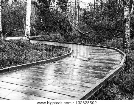 Narrow wooden path in the birch forest. Planks are wet and shiny after rain. Chalupska moor in Sumava National Park, Czech Republic . Black and white image.