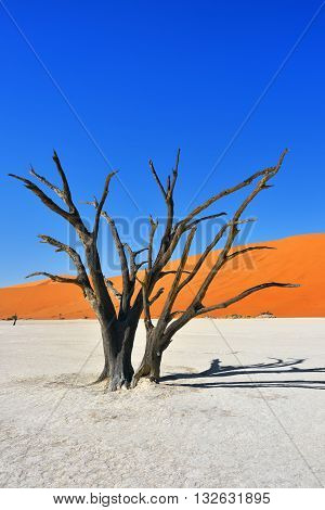 Dead Camelthorn Trees against red dunes and blue sky in Deadvlei Sossusvlei. Namib-Naukluft National Park Namibia Africa. Most beautiful landscape in Namibia