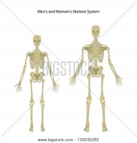 Anatomy guide. Male and female skeleton. Front view. vector Illustration.