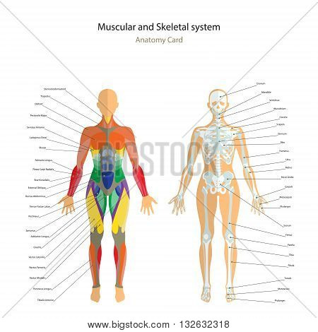 Anatomy guide. Female skeleton and muscles map with explanations. Front view. Vector Illustration.