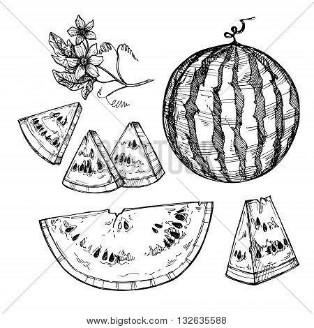 Hand drawn vector illustration - watermelon. Watermelon blossom. Slices of watermelon