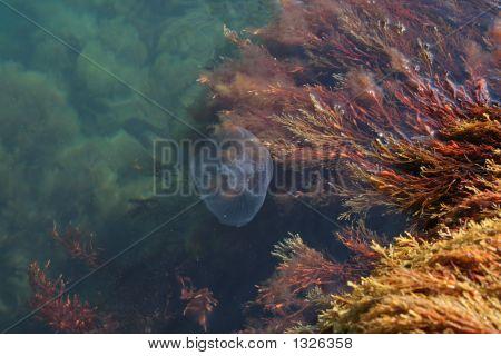 Medusa With Algae
