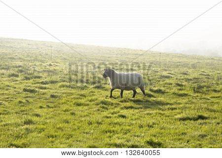 A sheep standing in the early morning mist in a field