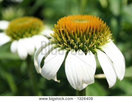 The Chamomile (Close Up)