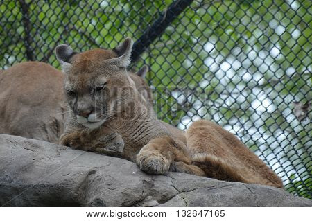 Puma relaxing on the top of the rocks