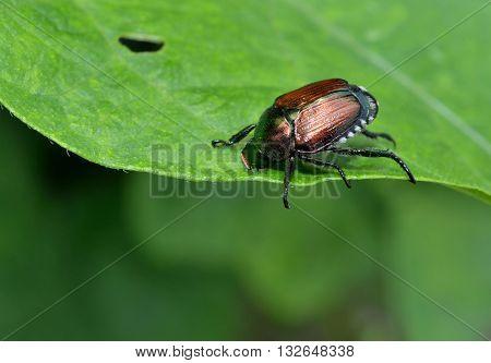 Destructive Japanese beetle eating and destroying a leaf