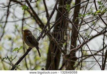 Erithacus rubecula or European robin alight on springtime branch, Pancharevo, Bulgaria