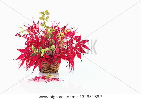 Display of Scarlet Japanese Acer Leaves with Cotoneaster Berries