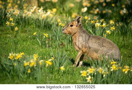Patagonian mara sitting in the spring green grass.