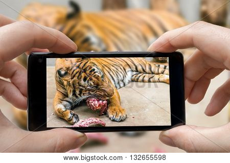 Man Is Photographing Tiger Eating Meal In Zoo With Smartphone.