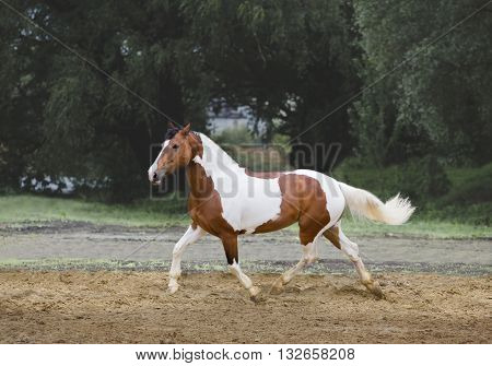 Piebald horse runs on the threes background