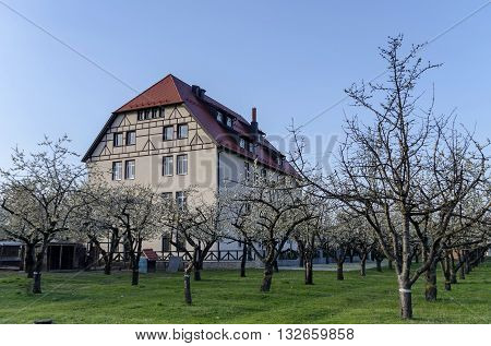Pancharevo, Bulgaria - April 02, 2016: Cherry orchard in blossom through springtime, look from near, Pancharevo, Bulgaria. Visit of Pancharevo in springtime.