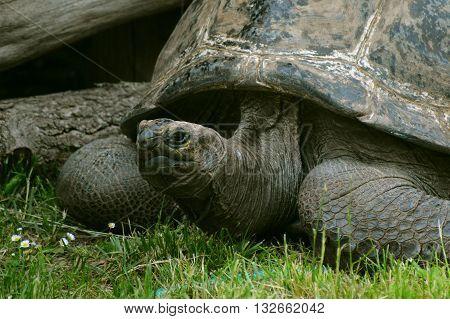 Aldabra giant tortoise (Aldabrachelys gigantea) resting in the grass