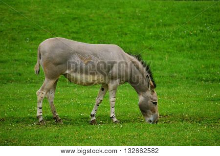 Somali wild ass eating grass (Equus africanus somaliensis)