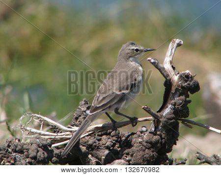 Cape Sparrow, Riet Vlei Cape Town South Africa