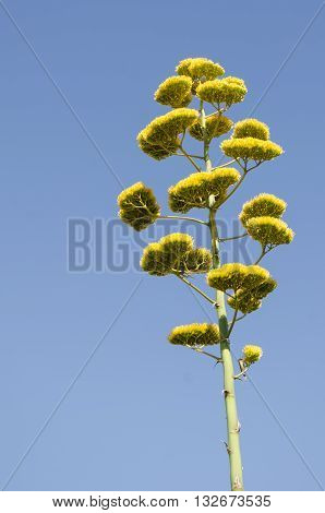 Agave (Agave Americana) flower against blue sky