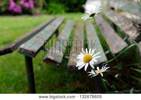 Detail of several white daisies on a background of old wooden park bench garden