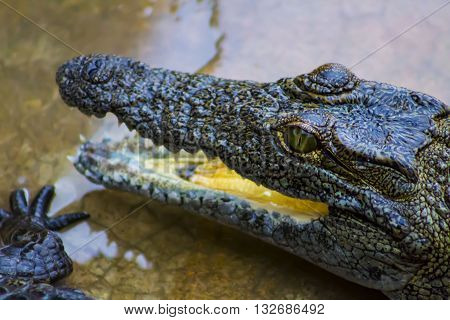 Baby crocodile head with open beak and teeth
