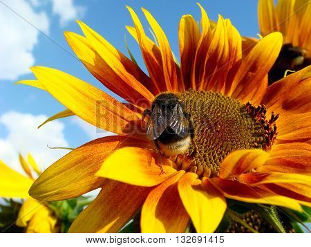 Bee collects nectar of sunflower in a bright summer day