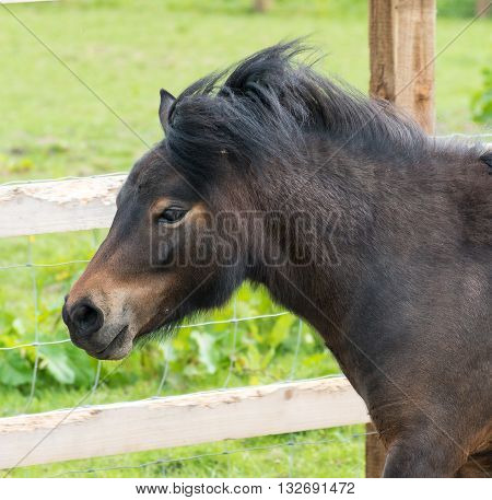 Shetland Pony close up og its head