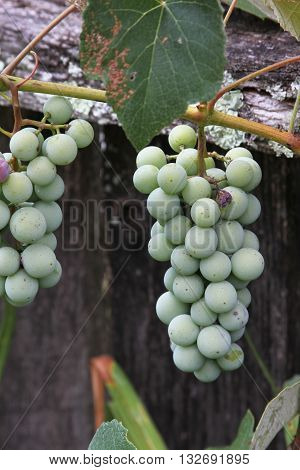 Two bunches of unripe grapes growing on a grapevine