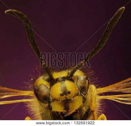 Common Wasp on violet Background  -  Vespula vulgaris (Linnaeus,1758)