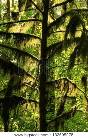a picture of an exterior Pacific Northwest forest young Hemlock conifer tree with moss