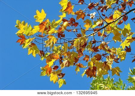 Golden autumn leaves on background of blue sky