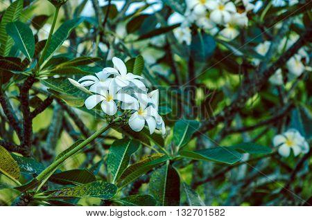 Branche of white Tiare Flower , Gardenia taitensis, deep green leaf backgrund, thailand