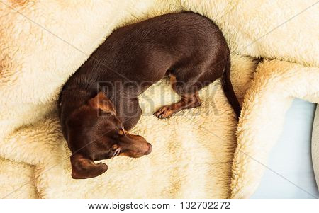 Animals at home. Dachshund chihuahua and shih tzu mixed dog relaxing on bed on woolen blanket indoor