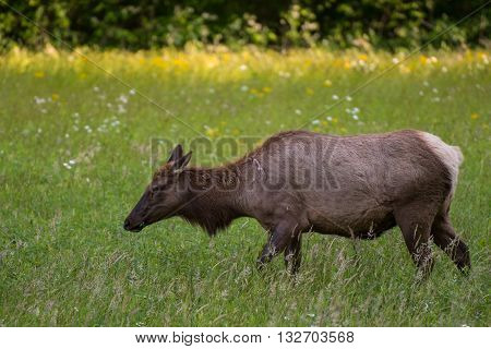 Female Elk Side View Close Up in field in Great Smoky Mountain National Park