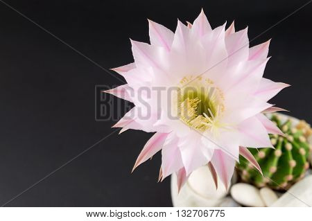 Cactus Flower Growing From A Small Cactus