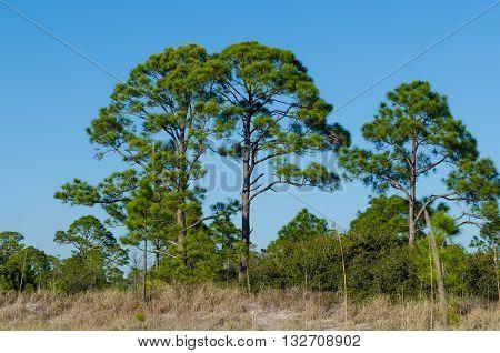 Florida pine trees against a vivid blue sky