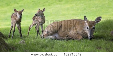 White-tailed deer doe with her twin, newborn fawns.  Springtime in Wisconsin.
