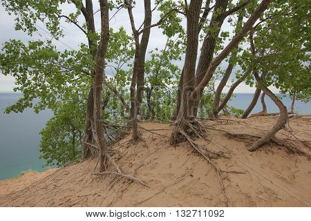 A grove of cotton woods in Sleeping Bear Dunes National Lakeshore, Michigan.  Part of Pierce Stocking Scenic Drive.