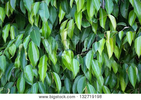 High resolution of Benjamin tree leaves background
