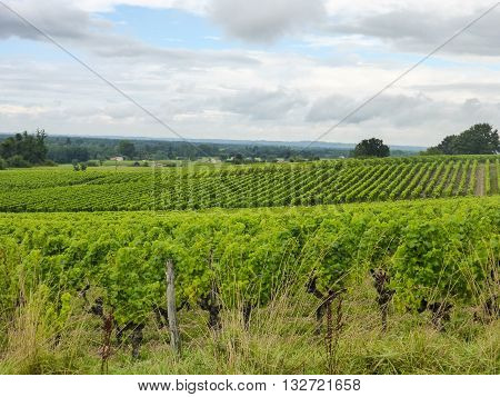 View of a vineyard in France's Sauternes winegrowing region